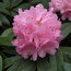 RHODODENDRON 'Endsleigh Pink'