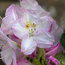 RHODODENDRON 'Gomer Waterer' INKARHO