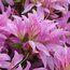 RHODODENDRON stenopetalum 'Linearifolium'