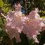 RHODODENDRON loderi 'Pink Diamond'