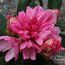 RHODODENDRON 'Mrs Furnivall'
