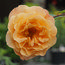 ROSA 'Whisky Mac'