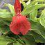 ROSCOEA purpurea f.rubra