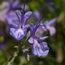 ROSMARINUS officinalis 'Tuscan Blue'