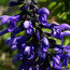 SALVIA guaranitica 'Black and Blue'