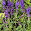 SALVIA sylvestris 'Mainacht'