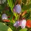 SOLLYA heterophylla 'Pink Charmer'