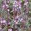 VERBENA officinalis var grandiflora 'Bampton'