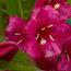 WEIGELA 'Bristol Ruby'