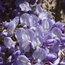 WISTERIA floribunda 'Cascade'