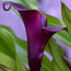 ZANTEDESCHIA elliottiana 'Black Star'