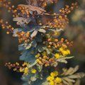 Small image of ACACIA