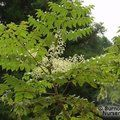 Small image of ARALIA