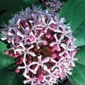 Small image of CLERODENDRUM
