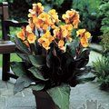 Small image of CANNA