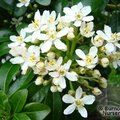 Small image of MEXICAN ORANGE BLOSSOM - see CHOISYA