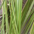 CORTADERIA selloana 'Gold Band'