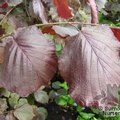 Small image of CORYLUS