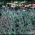 Small image of ECHINOPS