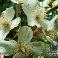 Small image of EUCRYPHIA
