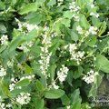Small image of POLYGONUM - see FALLOPIA
