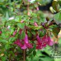 Small image of FUCHSIA
