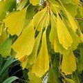 Small image of GINKGO