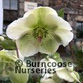 HELLEBORUS 'Molly's White'