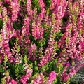 Small image of CALLUNA - see HEATHERS