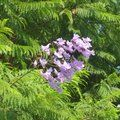 Small image of JACARANDA