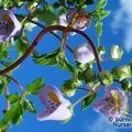Small image of JOVELLANA
