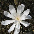 Photo of MAGNOLIA stellata 'Water Lily'
