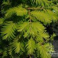 METASEQUOIA glyptostroboides 'Gold Rush'