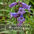 PENSTEMON 'Mother of Pearl'