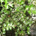 Small image of PHYLLOCLADUS