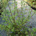 PITTOSPORUM tenuifolium 'French Lace'