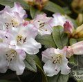 Photo of RHODODENDRON 'Cilpinense'