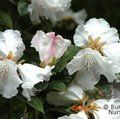 RHODODENDRON 'Princess Alice'