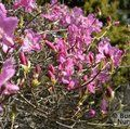 RHODODENDRON reticulatum