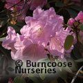 RHODODENDRON 'Tinner's Blush'