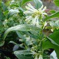 Small image of SARCOCOCCA