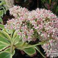 Small image of SEDUM