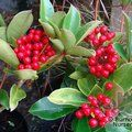 Small image of SKIMMIA