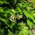 Small image of SMILACINA