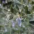 Small image of TEUCRIUM