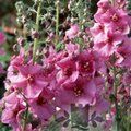 VERBASCUM 'Pink Kisses'