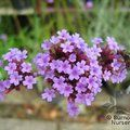 Small image of VERBENA