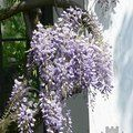Small image of WISTERIA
