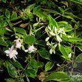 ABELIA x grandiflora 'Hopleys Variety'