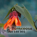 Small image of ABUTILON